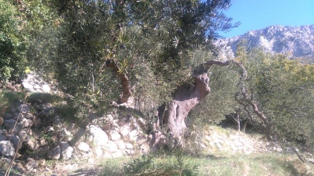Stara oliva Brist 2