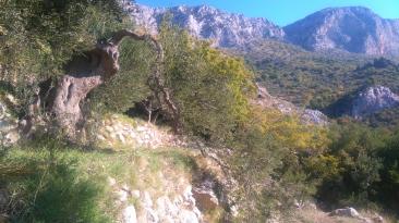 Stara oliva Brist